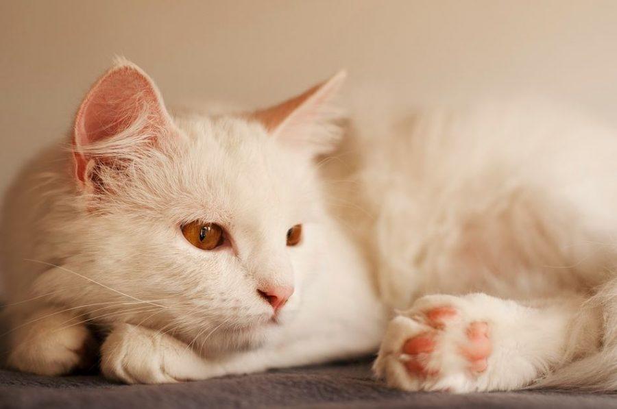 Gato blanco Angora Turco
