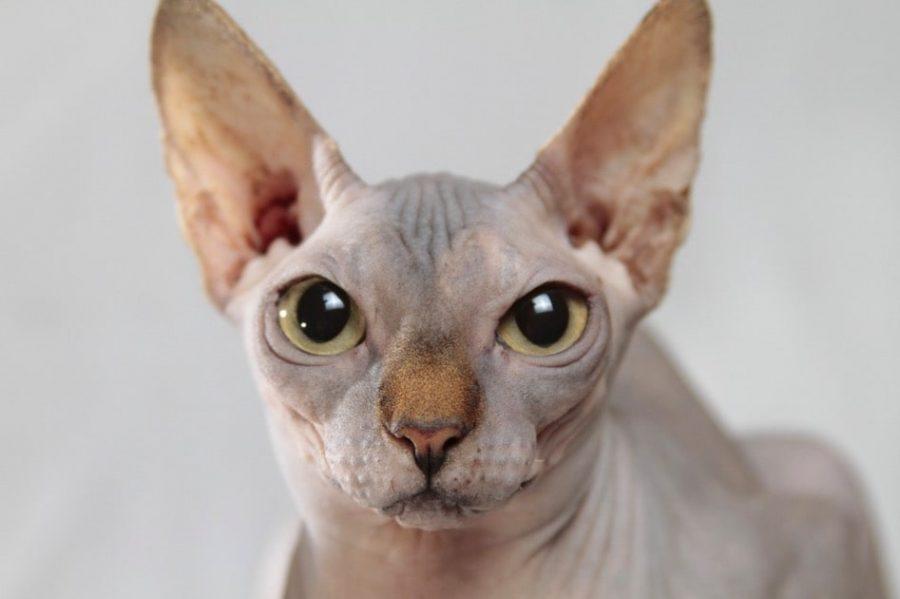 Gato esfinge sin pelo