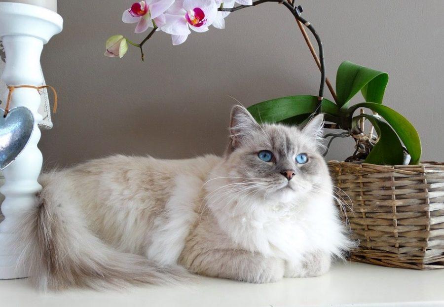 Gato de raza ragdoll blanco