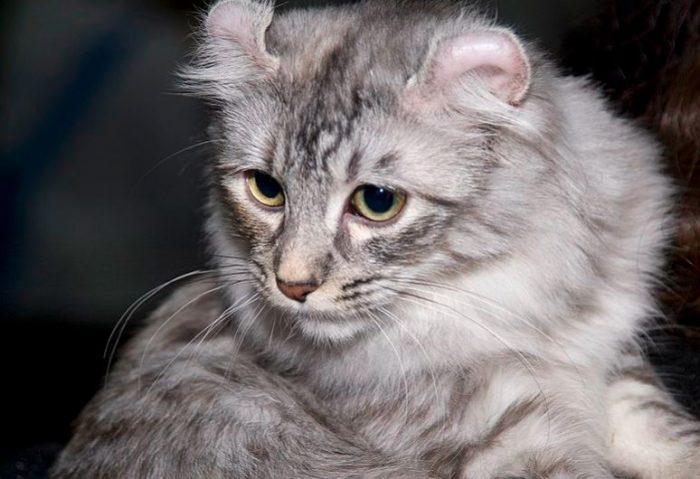 Gato de raza curl americano
