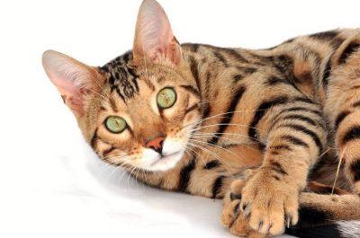 Gato de bengala o bengalí