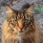 Gato de raza bosque de Noruega