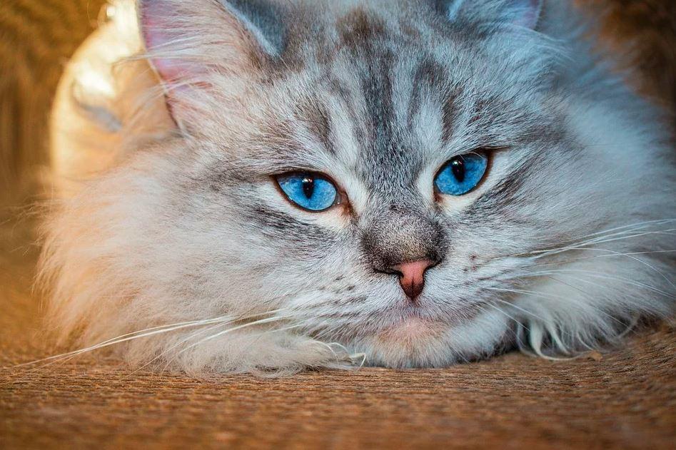 Gato de raza siberiana