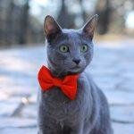 Gato de raza rusa azul