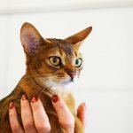 Gato de raza abisinia
