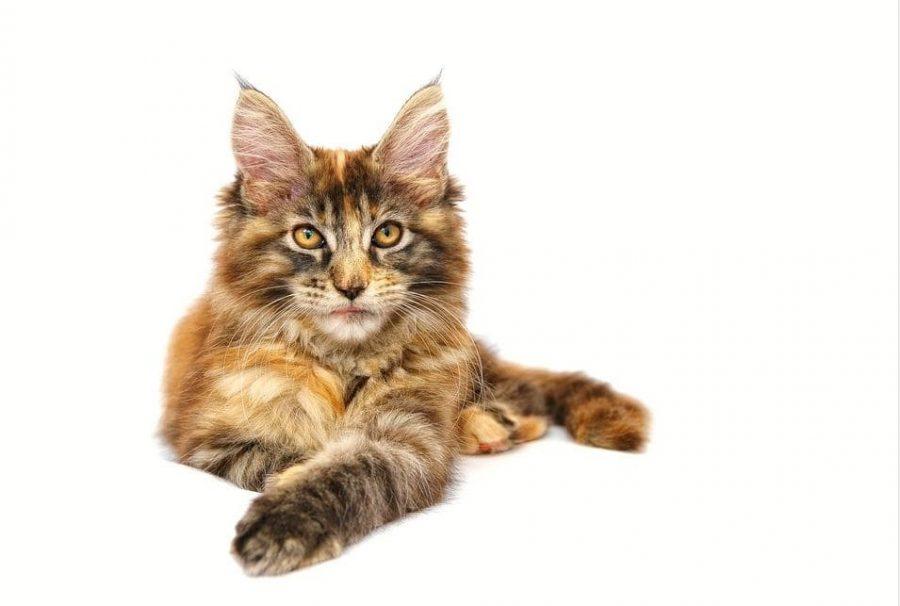 Gato de raza maine coon