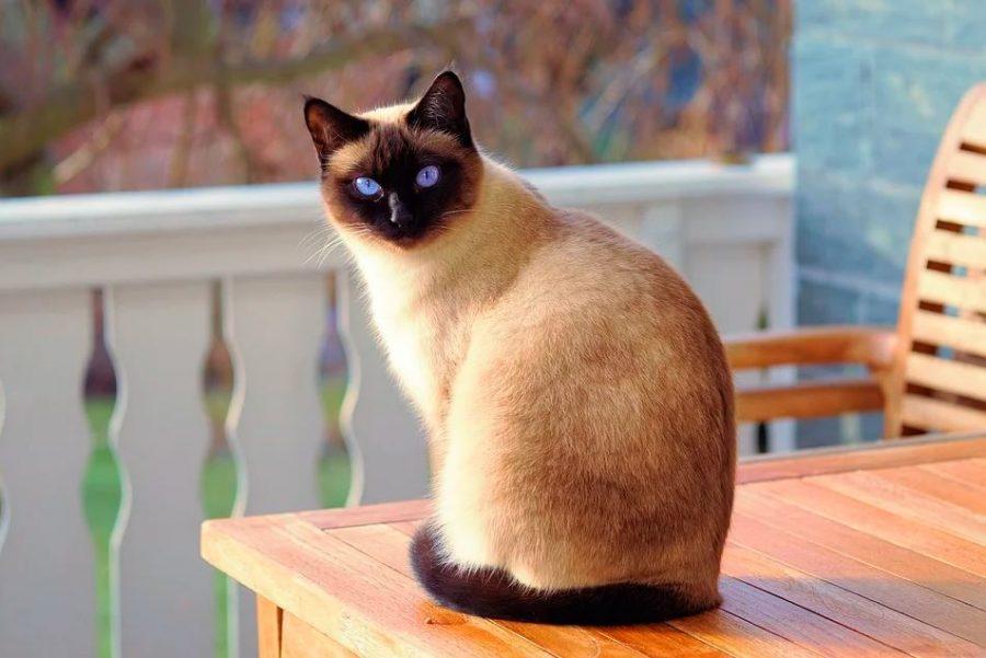 Gato de raza siamesa