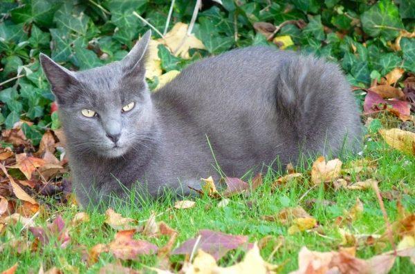 Gato de raza Korat color gris