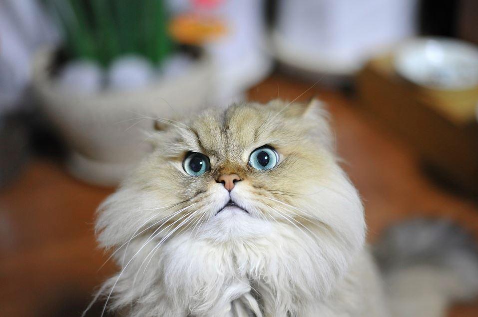 Gato de raza chinchilla persa