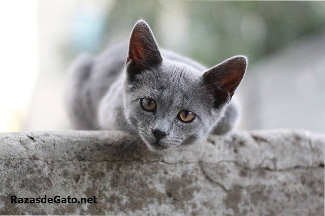 Gato British Shorthair gris
