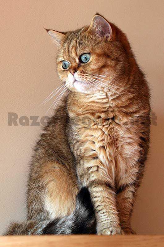 Gato de raza exótica