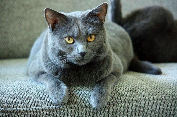 Gato de raza cartujo