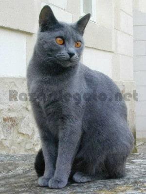 Gato gris de raza cartujo