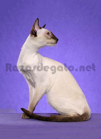 gato de raza siamesa moderna