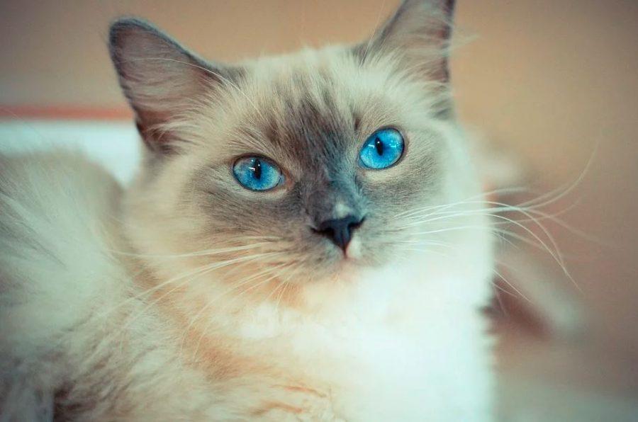Gato de raza tonkinés de ojos azules