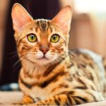 Gato de raza toyger