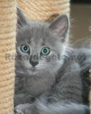 Gato pequeño de Raza Nubelung