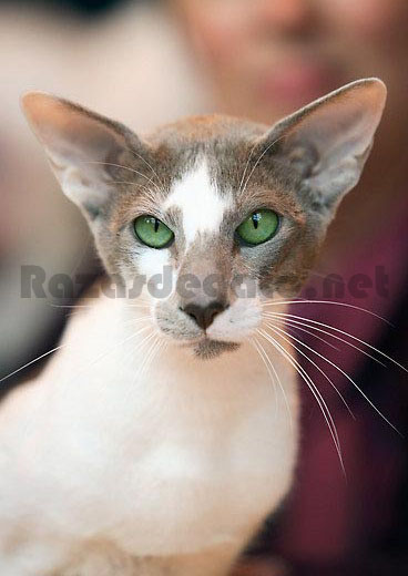 Gato blanco de raza oriental
