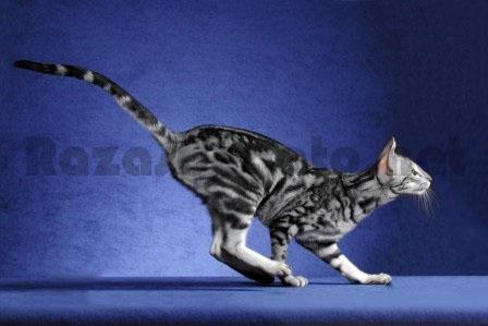 Gato de raza oriental