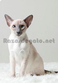 Gato de raza siamés moderno de color blanco