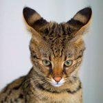 Gato savanah que parece un tigre