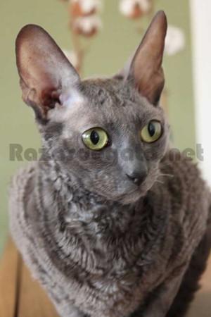 Gato Cornish rex de color gris