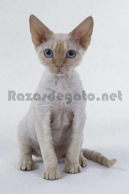 Gato Devon REx de color blanco y ojos azules