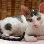Gato blanco de raza cornish rex