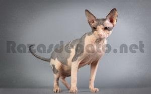 Gato de raza donskoy