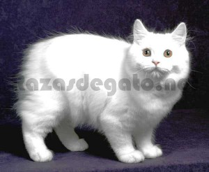Gato de raza cymric de color blanco