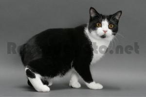 Gato de raza manx de color blanco y negro