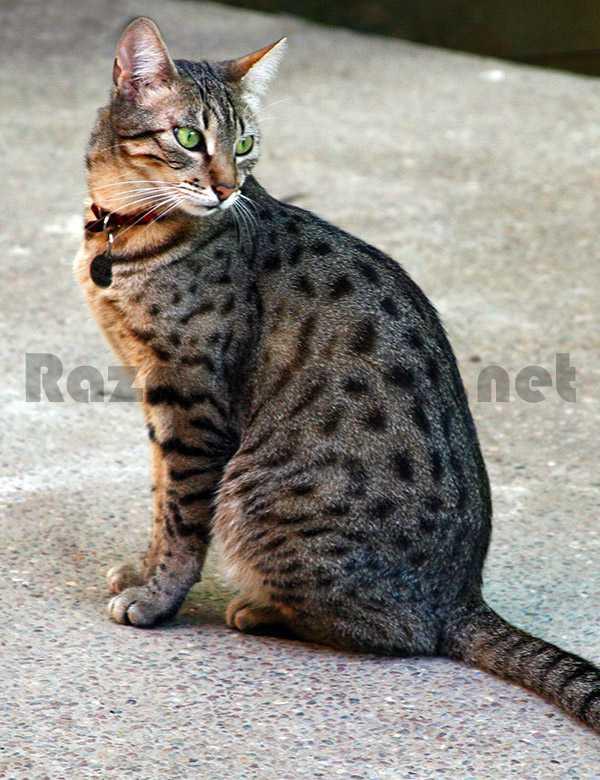 Gato de raza mau egipcio de color gris y ojos verdes