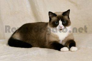 gato de raza snowshoe de color marrón