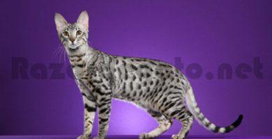 Gato serengeti gris