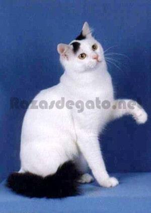 Gato blanco de raza Van Turco