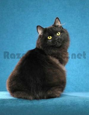 Gato de raza cymric de color negro