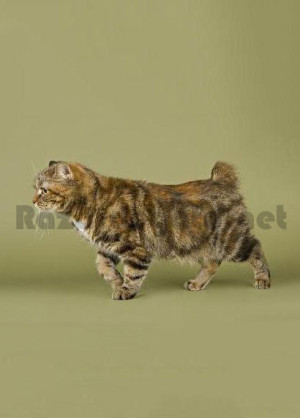 Gato de raza manx