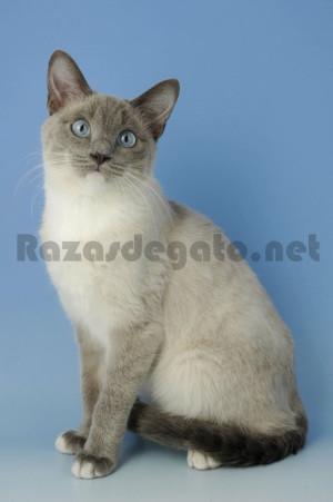 gato de raza snowshoe de color gris