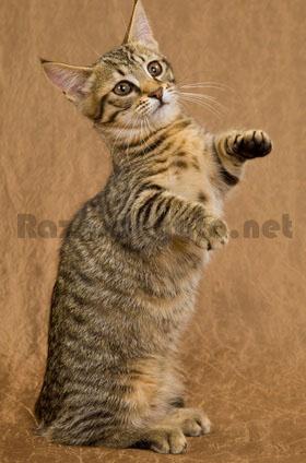 Raza de gato munchkin de rayas