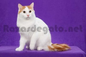 Gato van turco blanco y marrón