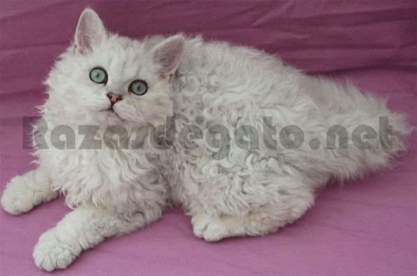 Gato Selkirk Rex de color blanco