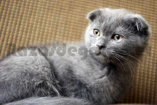 Gato Scottish Fold gris