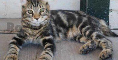 Gato de raza Highlander