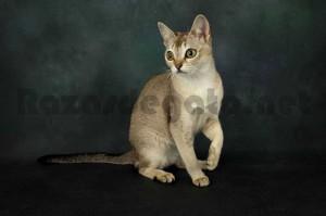Gato de raza singapura