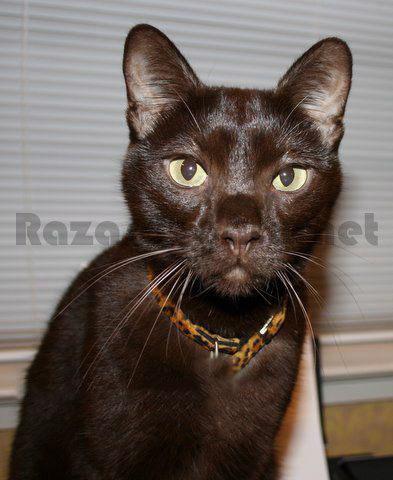Gato marrón de raza habana